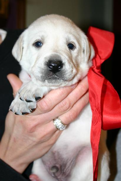 White Lab Puppies White Lab Puppy White Lab Pup White Labrador
