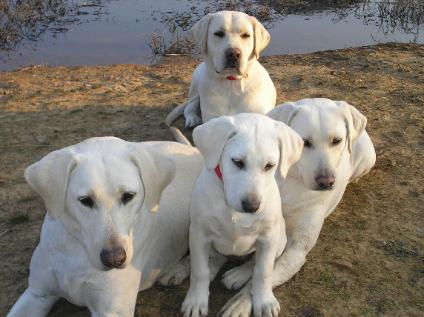 White  Puppies on White Lab Puppies   White Lab Puppy  White Lab Pup  White Labrador